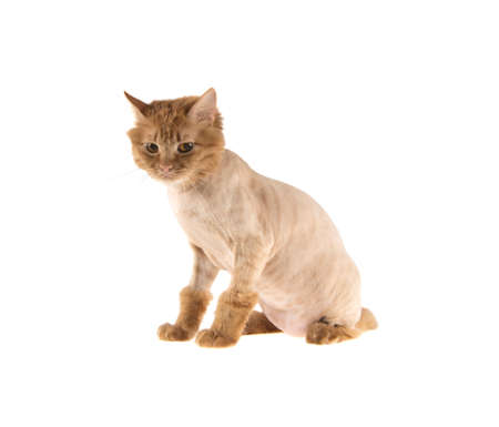 haircut of a red-headed cat bobtail