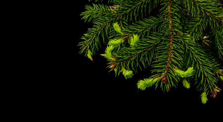 Christmas tree branch with young shoots on a black background
