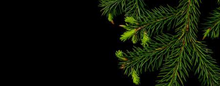 Rama de un árbol de Navidad con brotes jóvenes sobre un fondo negro