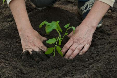 terrena: donna di piantare una pianta di pomodoro  Archivio Fotografico