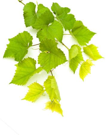 grapevine: Branch of grape vine on white background Stock Photo