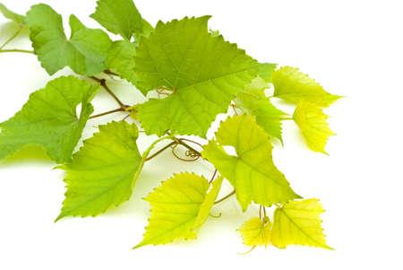 Branch of grape vine on white background photo