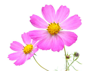 gerber flowers isolated on: Flowers Stock Photo