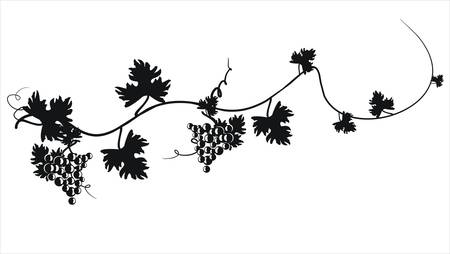 Vector illustration. Grape cluster with leaves. Çizim