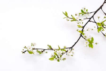 rama: Flor de cerezo de primavera
