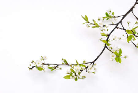 Spring cherry blossom Stock Photo - 9656100