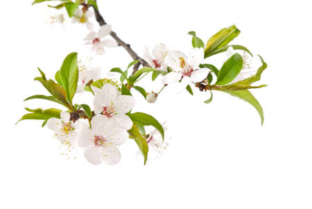 Spring cherry blossom Stock Photo - 9656098