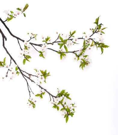 botanical branch: Spring cherry blossom