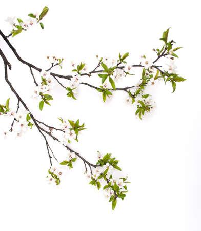 cherry branch: Spring cherry blossom