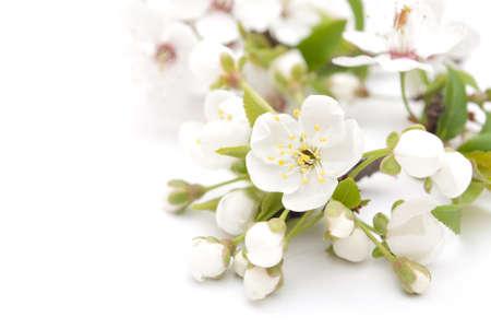 Spring cherry blossom photo