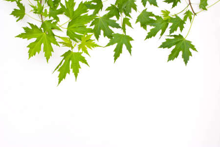 green leaves Isolated on white. Stock Photo - 9656188