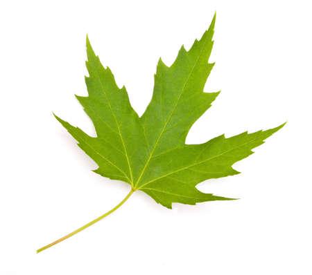 Ahornblatt auf weißem Hintergrund