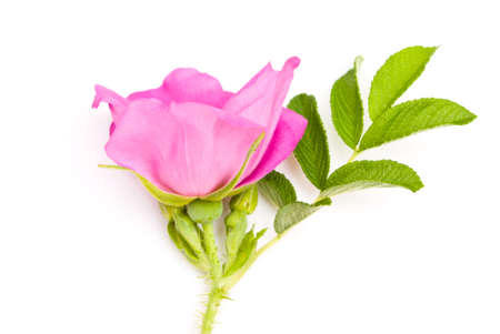 Beautiful tea rose on a white background.  photo