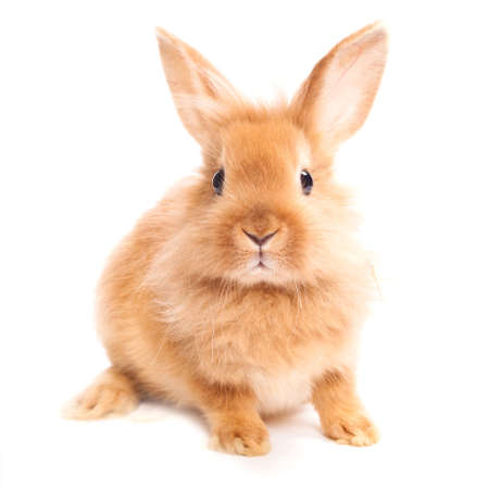 Rabbit isolated on a white background photo