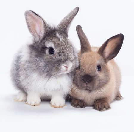 lepre: Due conigli coniglio isolato su sfondo bianco Archivio Fotografico