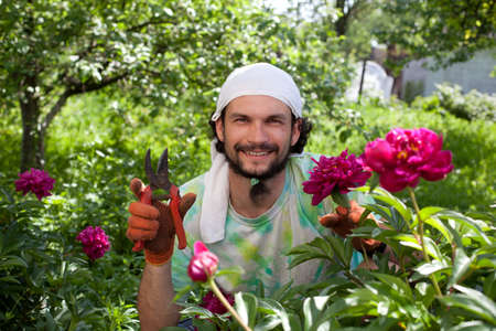 secateurs: Man cutting the peony bush with secateurs in the garden