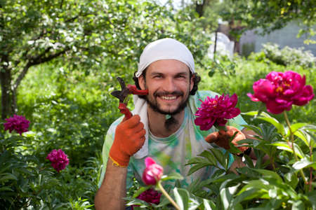 bush trimming: Man cutting the peony bush with secateurs in the garden