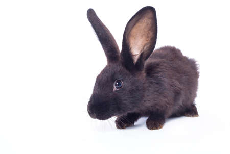 Black rabbit ( bunny )  isolated on a white background  photo