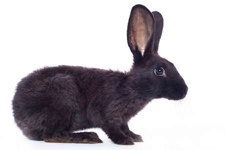 fleecy: Black rabbit ( bunny )  isolated on a white background