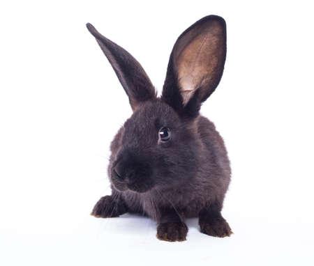 lapin blanc: Noir lapin (lapin) isol� sur un fond blanc