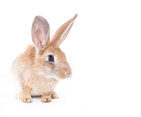 fleecy: Red rabbit ( bunny )  isolated on a white background  Stock Photo