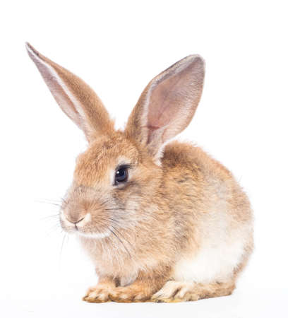Red rabbit ( bunny )  isolated on a white background  Stock Photo