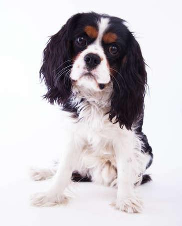 Dog spaniel on the white background. photo