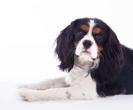 Dog spaniel on the white background. photo
