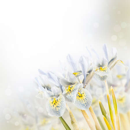 Iris Flowers  photo