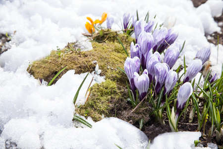 Crocus flowers  photo