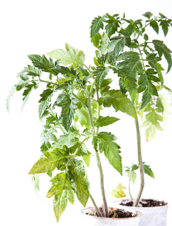 Tomato plant on white background photo