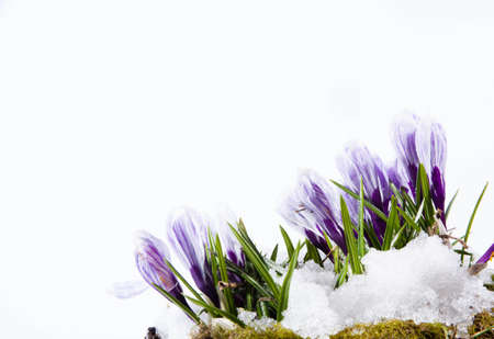 Crocus flowers on the white background photo