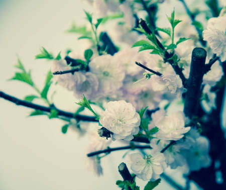 Beautiful almond pink flowers outdoor  photo