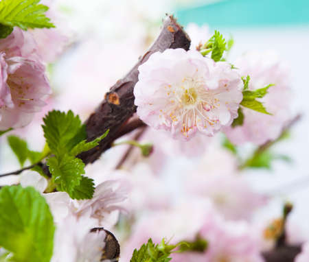 Beautiful almond pink flowers outdoor. photo
