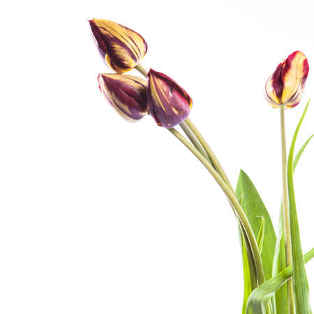 Beautiful bouquet of tulips on the white background photo