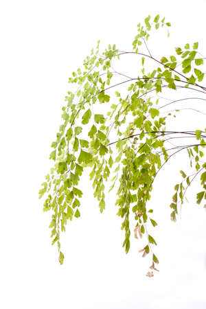 Branch of young leaves isolated on white photo