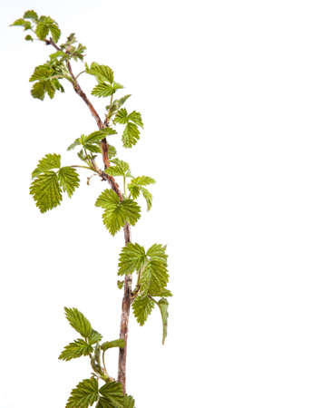 Branch of raspberries isolated on a white background photo