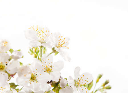 Cherry blossoms on the white background photo