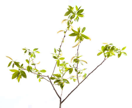 Branch of young leaves isolated on white Stock Photo - 19835558
