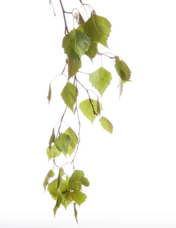Spring twig birch with green leaves on a white background photo