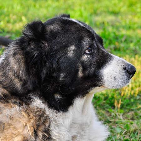 caucasian shepherd: Caucasian Shepherd on the grass in the city park