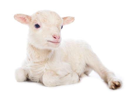 座っている子羊