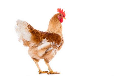 gallo: Gallo aisladas sobre fondo blanco