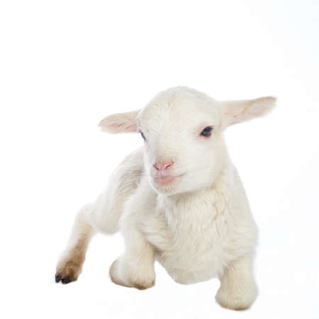 yeanling: Closeup of cute lamb on the white background