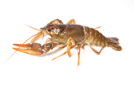 River crayfish on the white background. Close up. Stock Photo