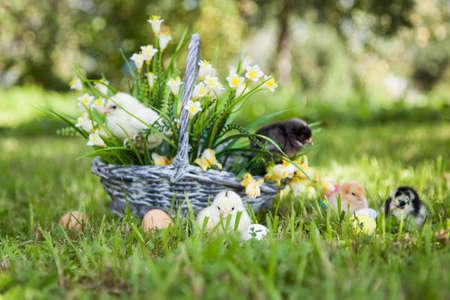 splint: Little cute chicks with basket on the grass Foto de archivo