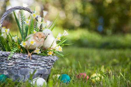chicks: Little cute chicks with basket on the grass Stock Photo