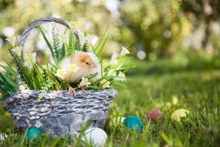 splint: Cute little chick sitting on the basket in the garden