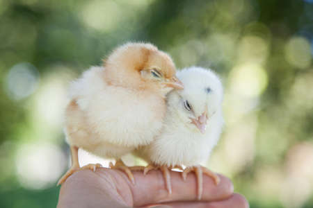 Cute little chicks sitting on the human hand
