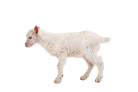 Little goatling on a white background Stock Photo